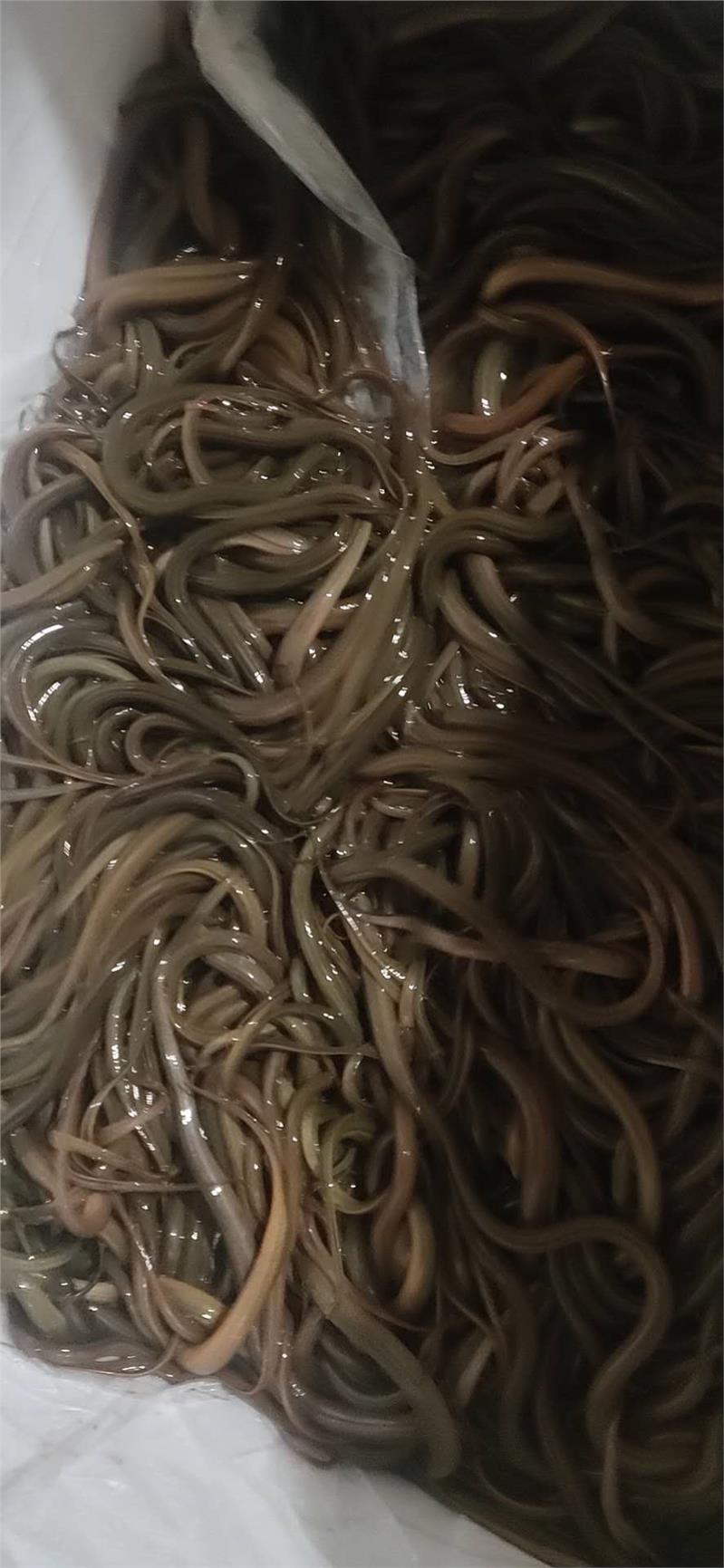 出售泥鳅幼苗