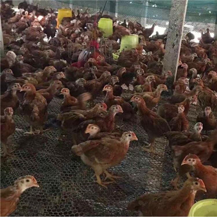 泰安九斤黃雞苗養殖戶