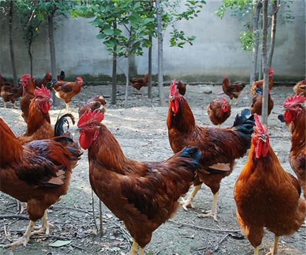 东营红玉鸡苗养殖户 红玉王 山东红玉鸡
