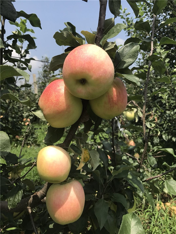 水蜜桃蘋果苗基地拓季蘋果苗淺談