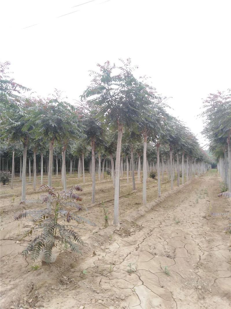 山东红叶椿育苗基地