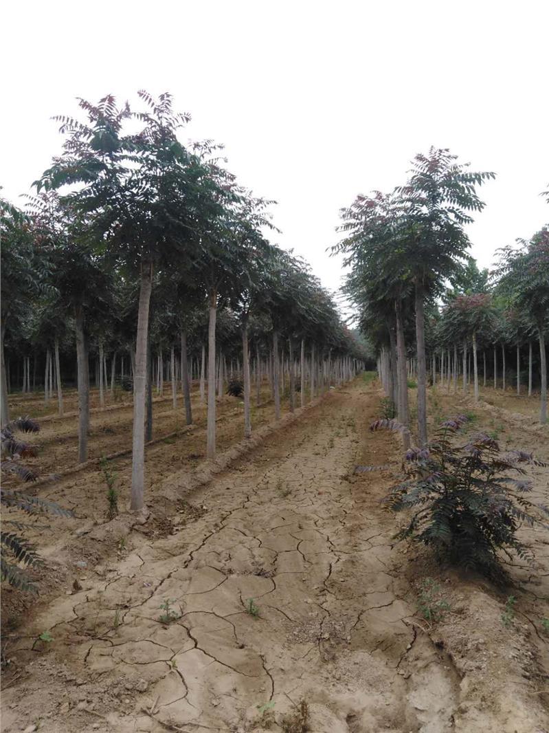 郑州红叶椿养殖基地