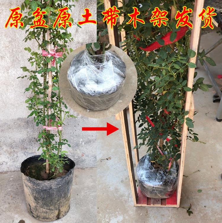 藤本月季養殖方法