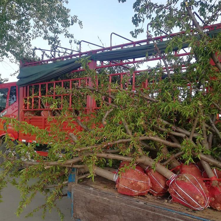 河北9公分占地桃树销售价格