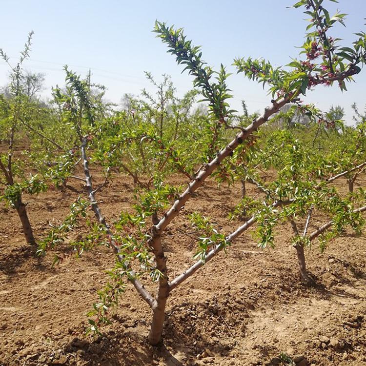 7公分占地桃树种植基地