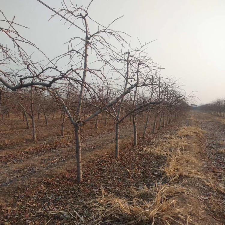 山西8公分开心形桃树价格苗圃直销