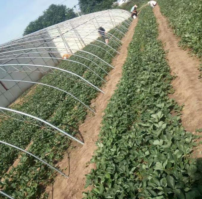 南京草莓苗价格