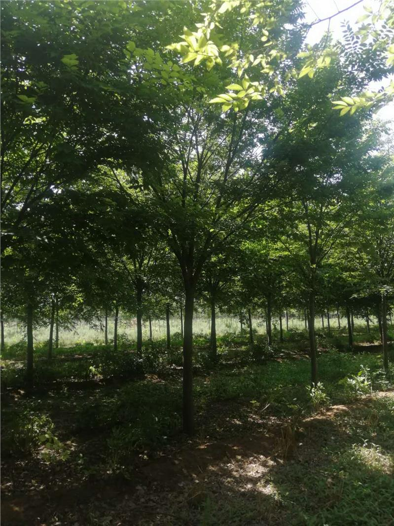 湖北8公分榉树繁育基地