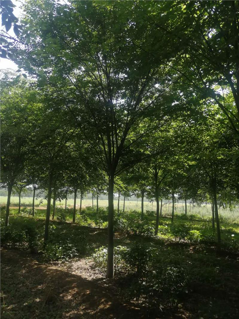 南京红榉树基地