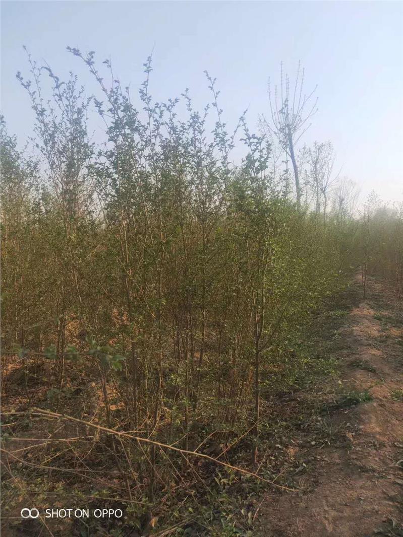河南榆树苗木基地