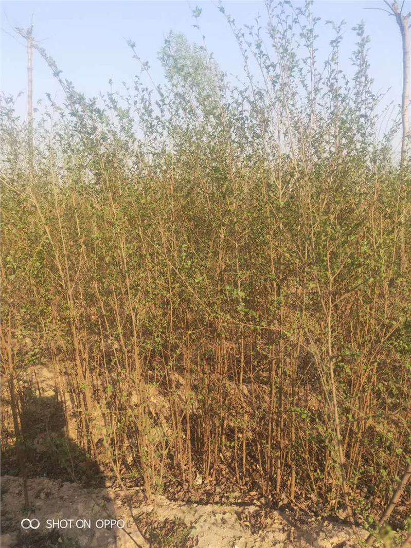 濮阳榆树苗种植基地