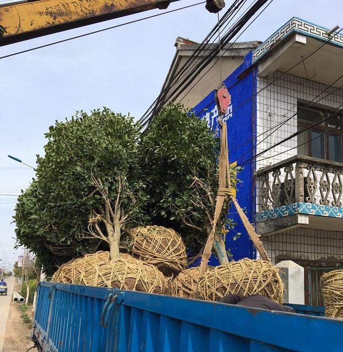深圳垂柳树苗