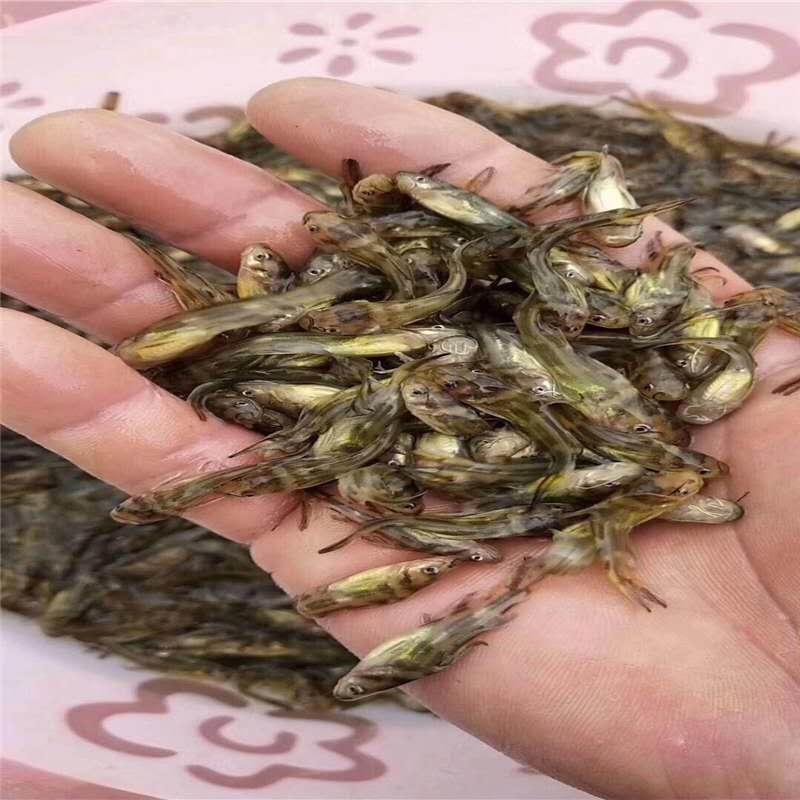 黄颡鱼养殖方法