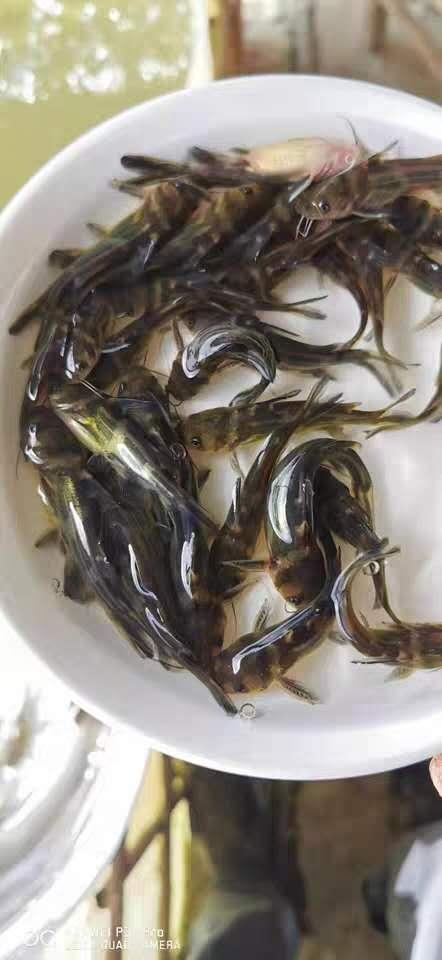 蚌埠黄骨鱼苗价格