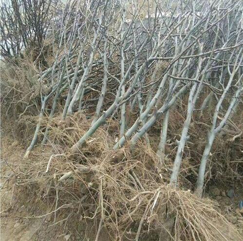 庫爾勒香梨樹樹苗