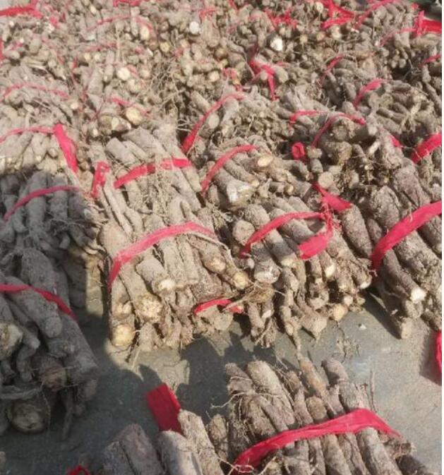西華縣哪有賣泡桐種根