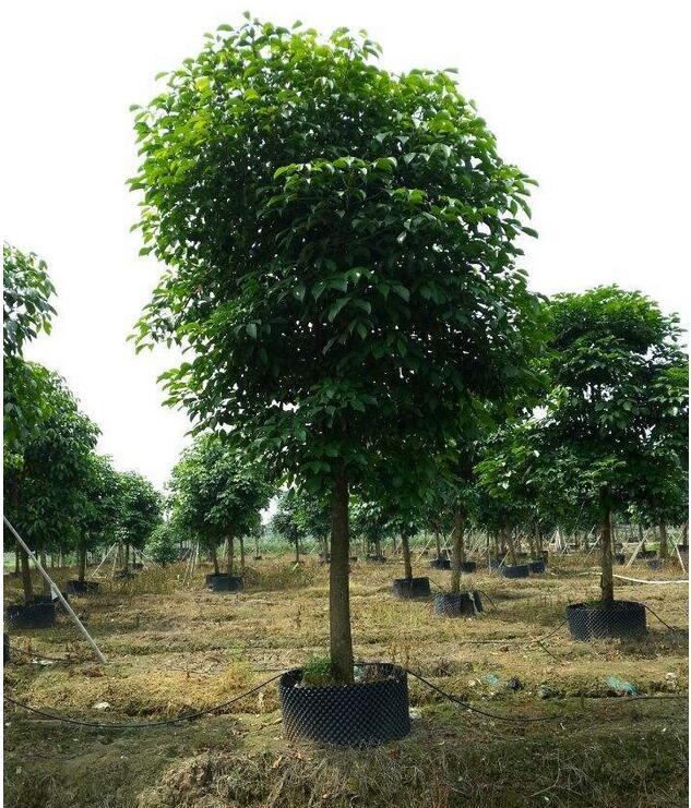 西華秋樹樹苗哪里買 秋木樹苗 成活率高