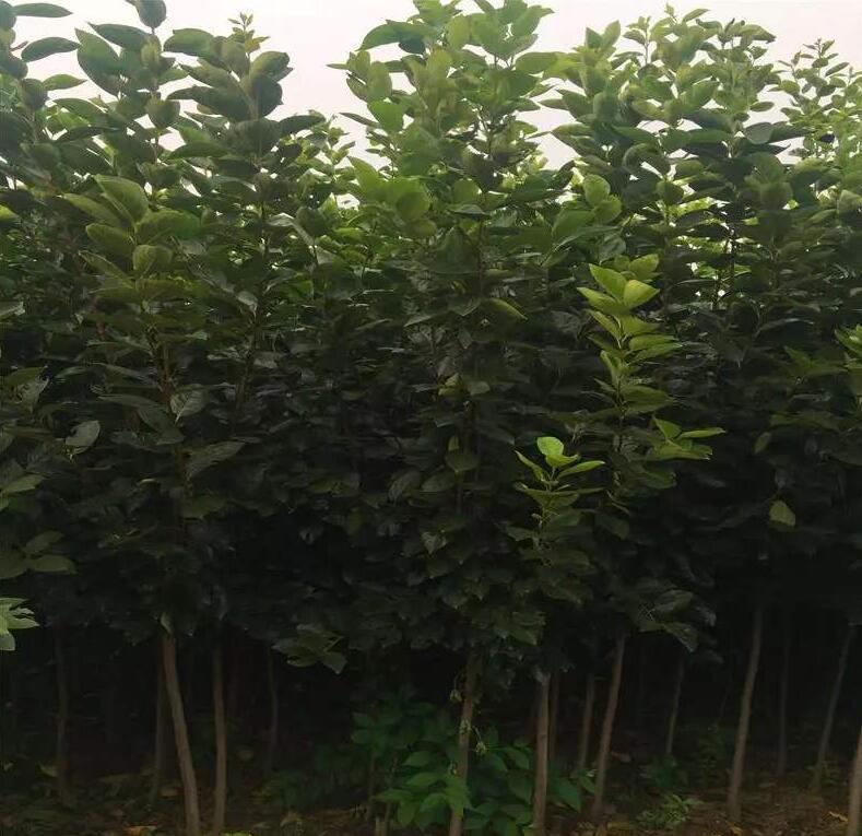西華縣小柿子樹苗