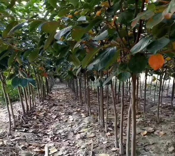 火晶柿子樹苗哪里賣 柿子樹苗條 專業繁育