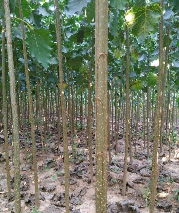 西華速生楊樹苗 哪里賣楊樹苗 生命力旺盛