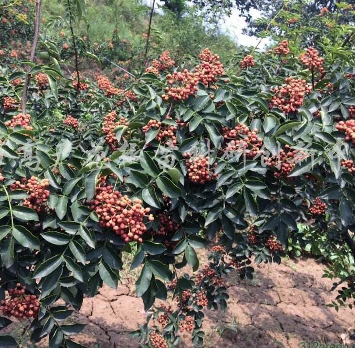 西華縣新品種花椒苗多少錢一株 求購花椒苗 大型種植基地