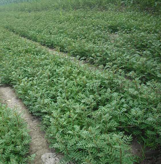 花椒苗哪有 花椒苗價格 種植適應性強