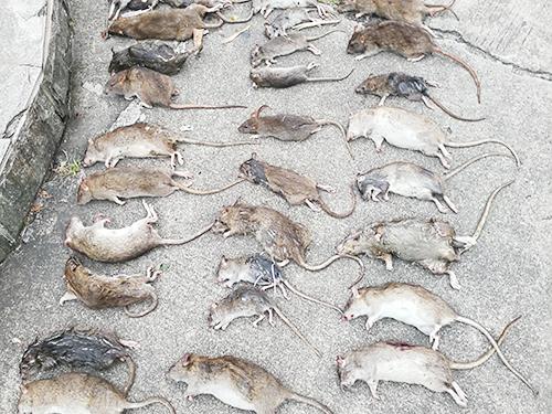 青山学校灭鼠费用