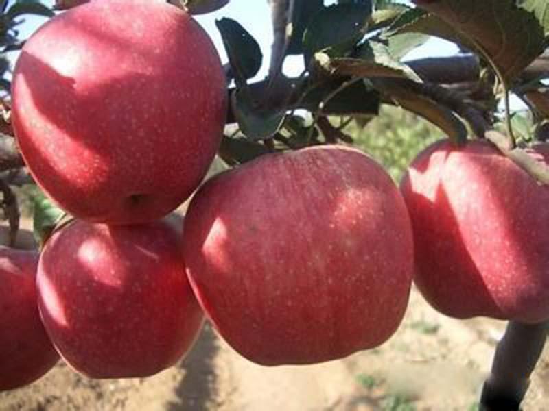 一邊倒果樹苗木基地|想要好的蘋果苗就來一邊倒果樹苗木