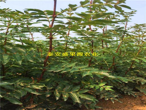红花椒苗电话 盛果源农业